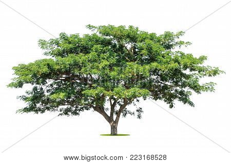 big tropical tree isolate on white background