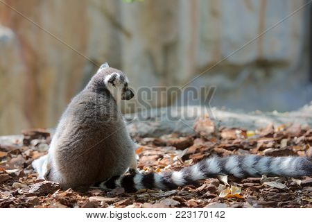 Ring-tailed Lemur resting in a forest. Animal photographed in captivity.