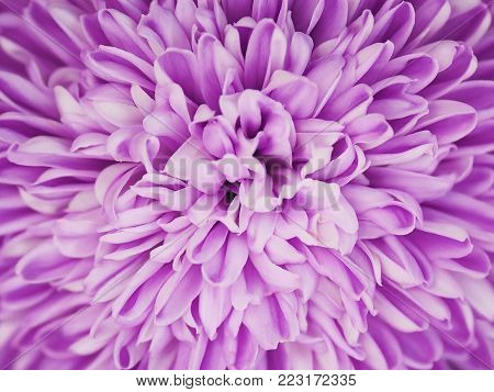 Close up violet chrysanthemum flower. Purple flora pattern for springtime background