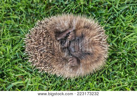 European hedgehog rolled up in ball lying on grass