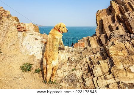 Golden retriever looking at the sea from the rocks of Qingdao coastline, Shandong province, China