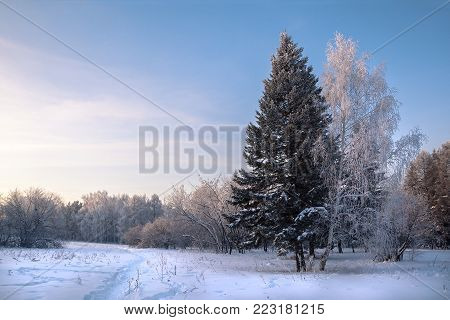 Winter forest covered with snow in sunny day, north landscape with walk trail and two trees together on foreground, white birch near pine tree on blue sky background