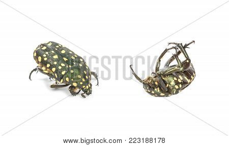 Closeup dead color scarab isolated on white background