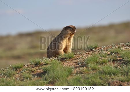 The careful groundhog gives a signal. Funny rodent.