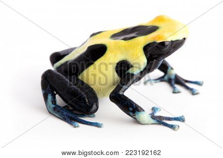 Yellow back poison dart frog Dendrobates tinctorius from the tropical Amazon rain forest of Suriname. Exotic animal isolated on white background.