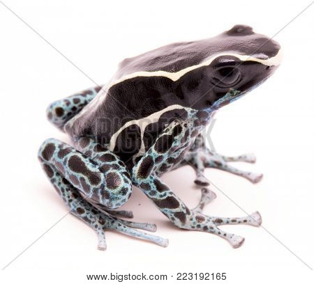 Male poison dart frog, Dendrobates tinctorius powder blue. A beautiful small exotic aniaml from the Amazon jungle in Suriname. Isolated on a white backgorund.