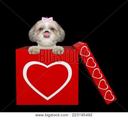 Cute shitzu dog sitting in valentines box. Isolated on black background