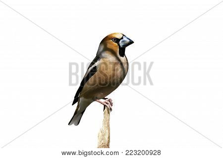 bird Grosbeak with an impressive nose sits on a stick in a Park on an isolated white background