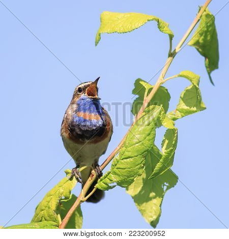 Bright Bird, The Bluethroat Sings The Song In The Spring Forest Sitting On  A Tree