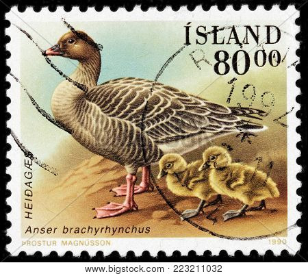 LUGA, RUSSIA - JANUARY 16, 2018: A stamp printed by ICELAND shows the pink-footed goose which breeds in eastern Greenland, Iceland and Svalbard, circa 1990