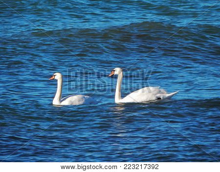 Pair of swans on the shore of the Caspian Sea.