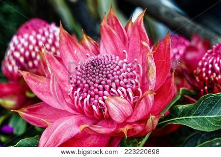 Waratah Protea - Teleopea speciosissima inflorescence  - Australia