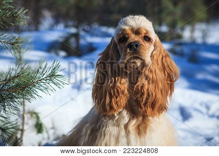 dog American Cocker Spaniel for a walk in the snow