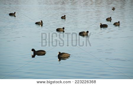 a lot of European coots (Fulica atra) on the dam