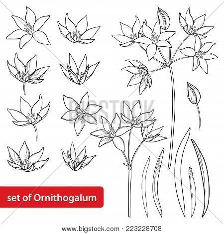 Vector set with outline Ornithogalum or Star-of-Bethlehem flower bunch, bud and leaves in black isolated on white background. Perennial bulbous plant in contour for spring design or coloring book.