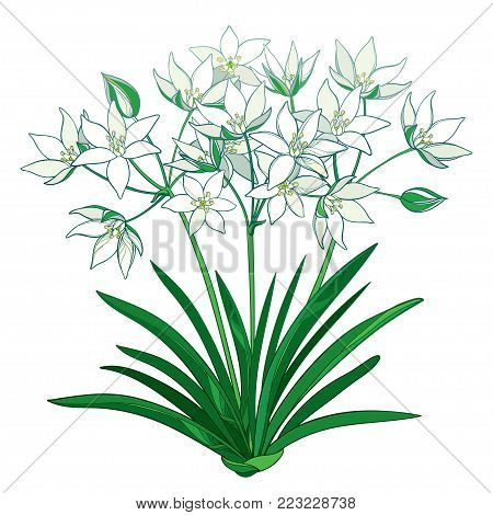 Vector bouquet with outline Ornithogalum or Star-of-Bethlehem flower bunch in pastel, bud and green foliage in isolated on white background. Perennial bulbous plant in contour for spring design.