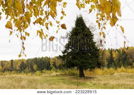 Autumn landscape with fir tree. Evergreens and Fall Foliage. Autumn landscape