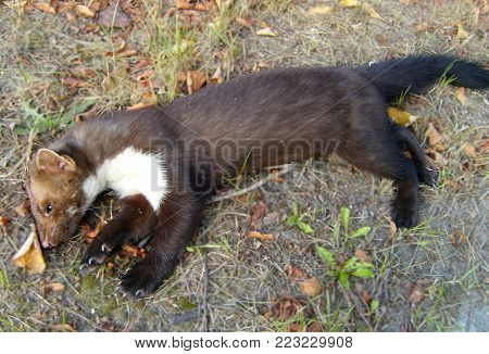 Lying dead marten road kill near way on autumn grass