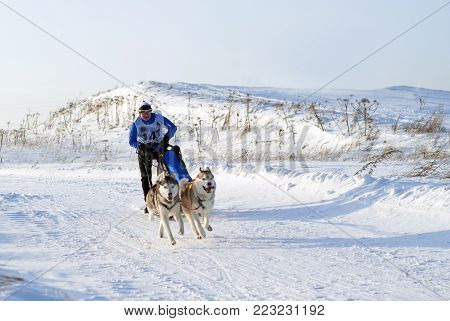 POLAZNA, RUSSIA - JANUARY 21, 2018: A team of two huskies at the regional dog sled competitions in the Perm krai.