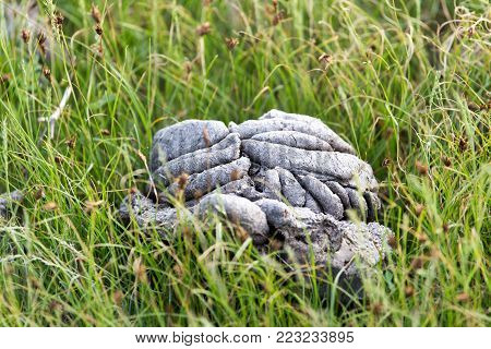 cow dung in the grass . In the park in nature