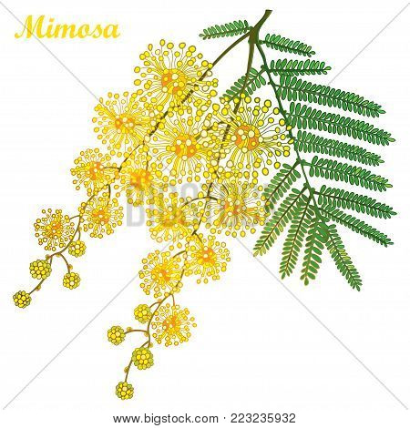 Vector branch of outline Mimosa or Acacia dealbata or silver wattle yellow flower, bud and green leaves isolated on white background. Blossoming bunch of Mimosa in contour style for spring design.