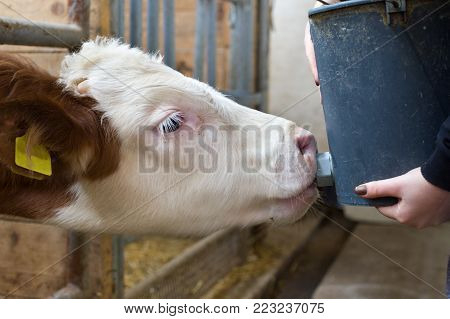Farmer Woman Feeding Cows In Stable