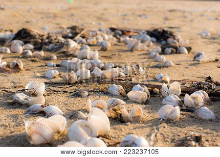 forecast of many shells on the beach, empty shells remained on the beach after a low tide