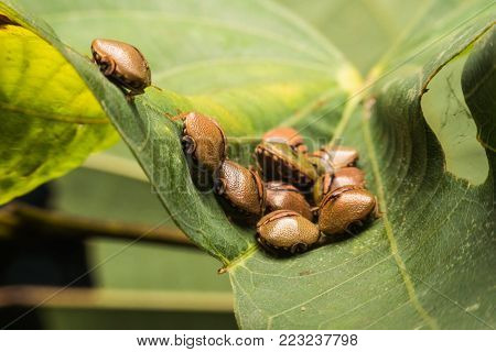 Group Of Bug On Leaf,group Of Brown Beetle Insect Sun Pest. Eurygaster Integriceps Pest Of Cereal Cr