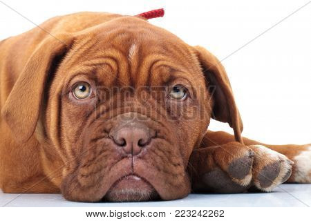 closeup of a french mastiff puppy lying down on white background
