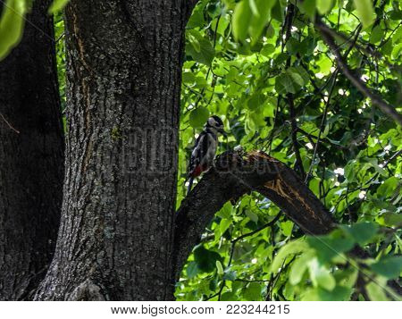 A woodpecker in a tree in the botanical garden of Iasi, Romania