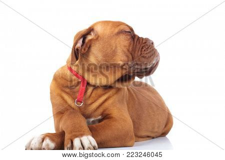 smug and arrogant little puppy with head to side is lying down on white background