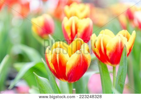 Tulip flower. Beautiful tulips in tulip field with green leaf background at winter or spring day. broken tulip.