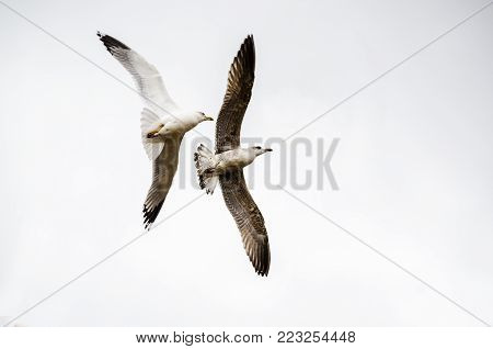 Two seagulls flying. Freedom emotion evoke. Blank white background for typing