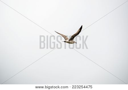Seagull flying side  view. Freedom emotion evoke. Blank white background for typing