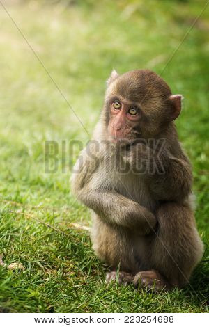 A young monkey who leans on his pack.