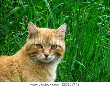 Portrait of red-haired tomcat lurking in grass. Tomcat portrait
