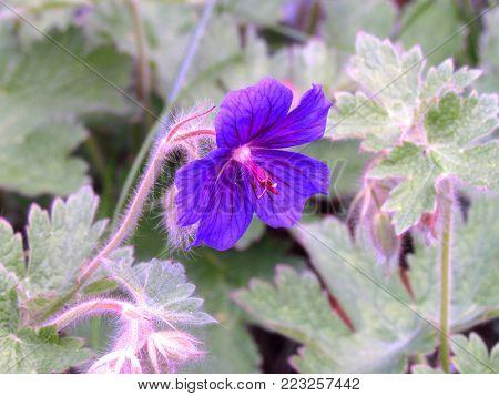 Purple flower of Geraniaceae close-up blossom detail