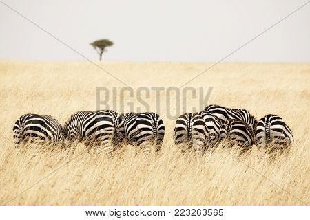 Back view of several Burchells zebra in a row and grazing on the lush grass of the Masai Mara, Kenya. A solitary acacia tree can be seen on the horizon.