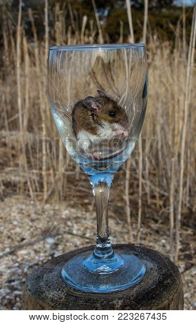 A side view of a wild brown house mouse sitting very content in a long stemmed wine glass.  The glass is on top of a wooden log in a meadow with long light brown grasses in the background.