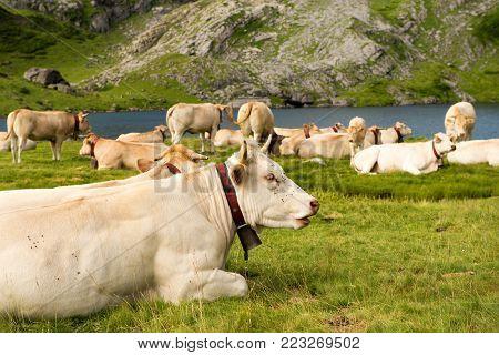 an herd of cows in the alpine pastures