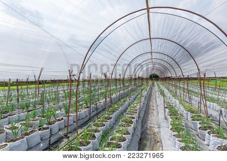 Onion sprout planting in agriculture farm field row with sun shade roof