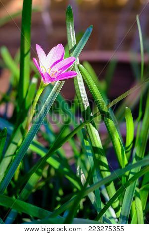 Pink Zephyranthes Image & Photo (Free Trial) | Bigstock