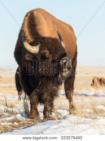 American Bull Bison on the Colorado Plains