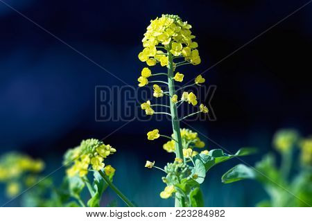 Rapeseed, mustard or Canola flower (Brassicaceae) side lighted with dark background.
