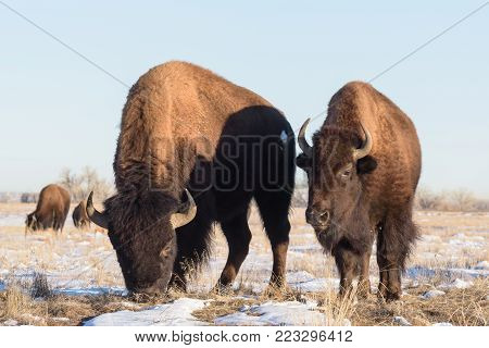 American Bison on the Snow Covered Colorado Plains