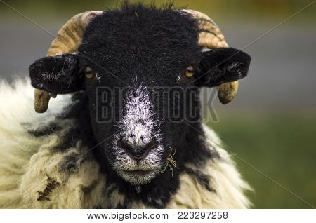 Swaledale Sheep.A Swaledale Sheep on the North York Moors. Swaledales are a hardy breed very suitable for this moorland life.