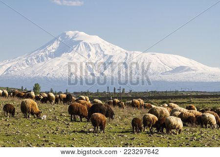 View over the Mount Ararat with herd of sheep from Armenia.