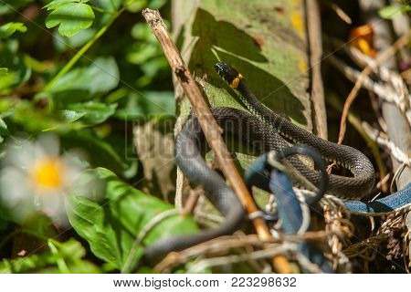 Beautiful Snake Lies On Meadow