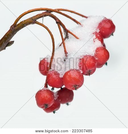 Bunch the snow-covered rowanberry on white background