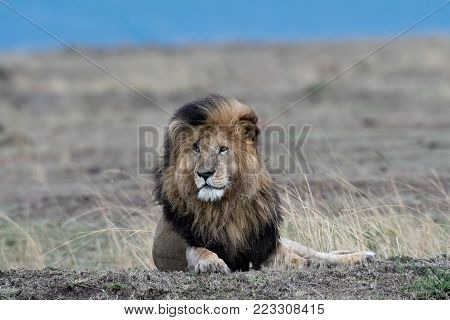 Male African Lion Named Scarface In Masai Mara Game Reserve, Kenya